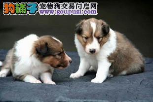南京哪里有喜乐蒂南京哪边狗狗南京犬舍