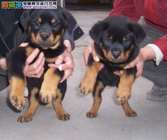 纯种犬繁殖基地专业繁殖罗威纳幼犬,健康可办理血统