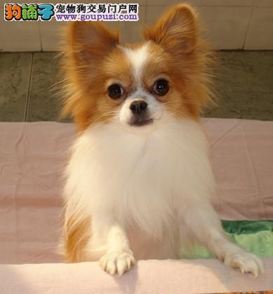 颜色全品相佳的蝴蝶犬纯种宝宝热卖中质量三包完美售后