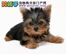 重庆出售约克夏纯种健康正在热销中