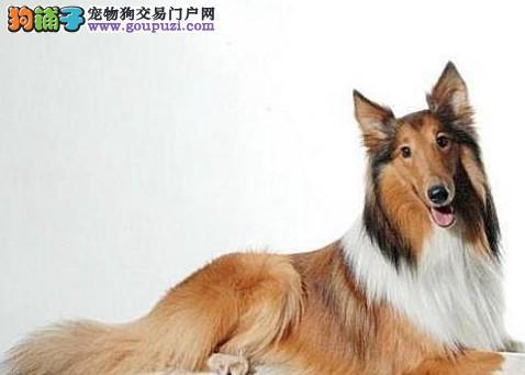 苏牧最大的正规犬舍完美售后品质优良诚信为本