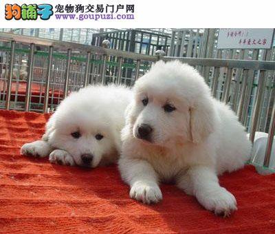 大连/北极熊般的大白熊热抢中保纯种[两个月公母全有]