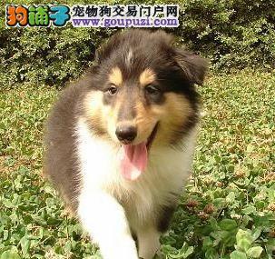 正规犬舍出售纯种苏牧幼犬 保证纯种健康 签订协议