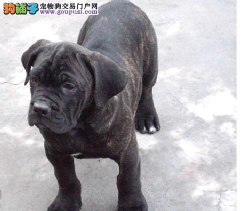 重庆犬舍隆重推出、精品卡斯罗、保纯保健康