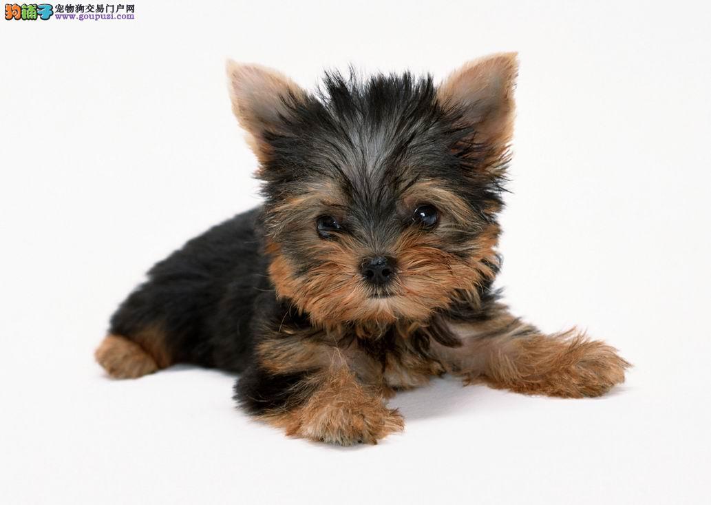 广州什么地方有卖纯种约克夏犬