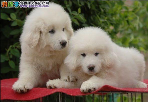 热卖-纯种大白熊幼犬宝宝-保纯种.保健康!