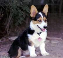 犬舍直销品种纯正健康柯基签订保障协议