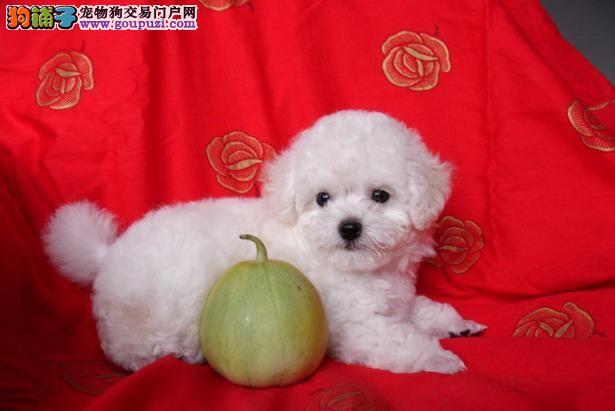 专业出售纯种健康雪白比熊幼犬,可签质保协议