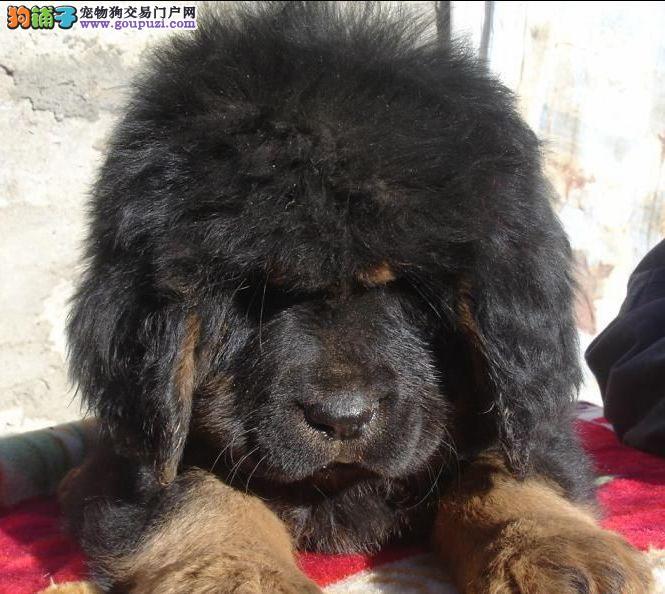 藏獒/血统优良,健康有保证,纯种大狮子头藏獒出售[三个月公母全有]