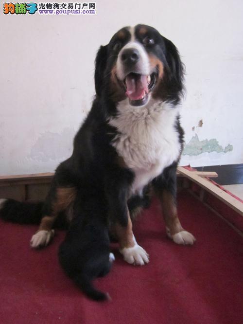 转让伯恩山母犬两岁母性非常好