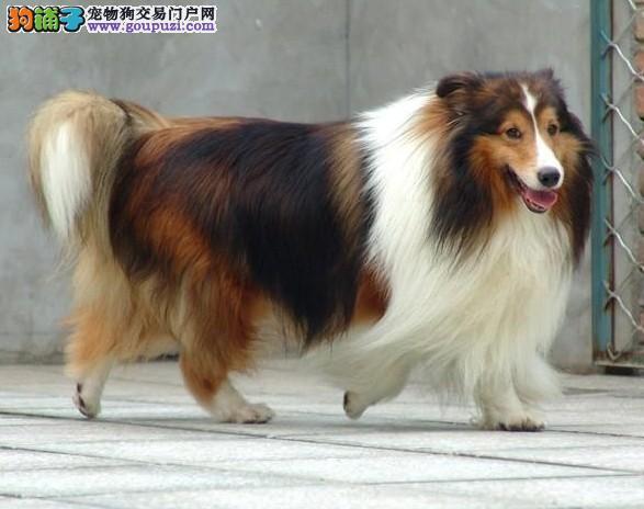 长期出售纯种苏格兰牧羊犬幼犬