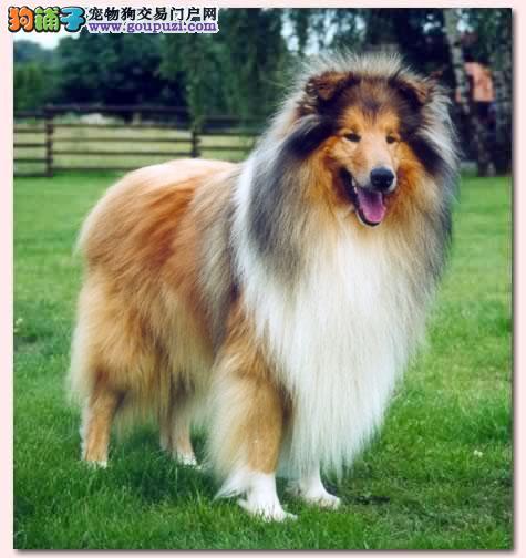 出售纯种苏格兰牧羊犬幼犬0011