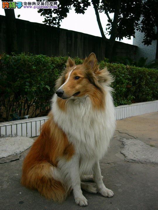 正规犬舍出售纯种健康苏牧幼犬 幼犬品相到位