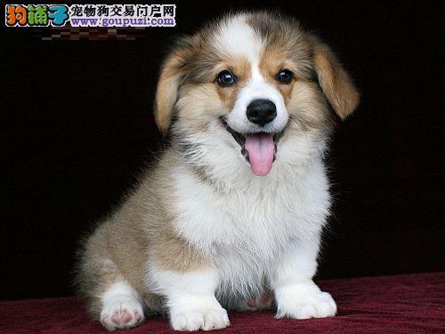 实体店低价促销赛级柯基幼犬提供护养指导