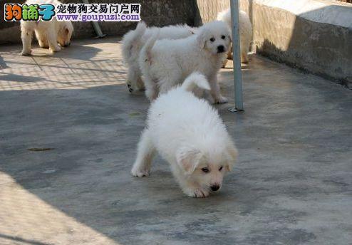 纯种大白熊宝宝 特价出售 有血统