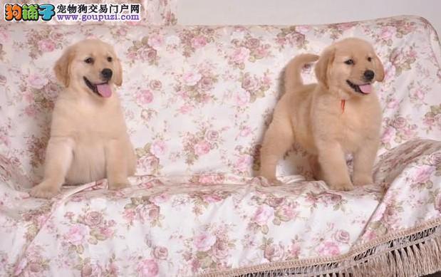 CKU注册高品质枫叶系赛级金毛幼犬低价出售送狗狗用品