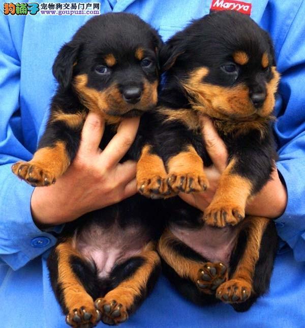 繁殖基地出售 极有身价的护卫犬 罗威纳