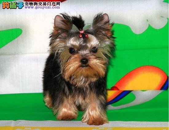 纯种健康的约克夏幼犬约克夏价格多少钱一只