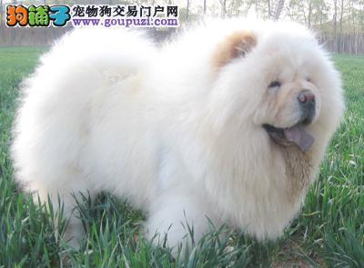 2011超级可爱的松狮宝宝出售啦!欢迎选购!低价