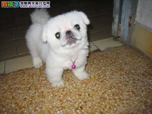 可爱的纯种京巴狗狗出售