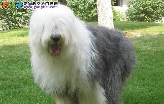 出售家养纯种长毛白头四脚踏雪古代牧羊犬