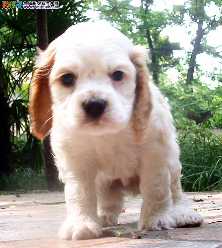 活泼可爱的可卡萨级品相纯种可卡幼犬,保健康包纯种尝