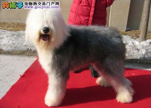 深圳哪里有卖宠物狗深圳哪里有卖古牧深圳古牧多少钱