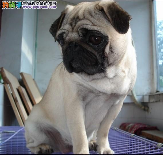自家养殖售纯种巴哥狗狗保证健康、纯种