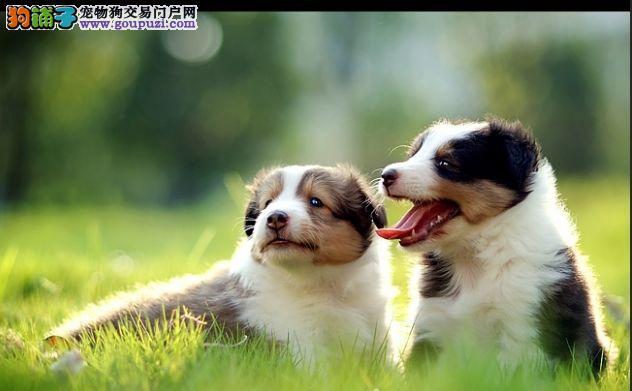 武汉出售极品喜乐蒂幼犬完美品相全国质保全国送货