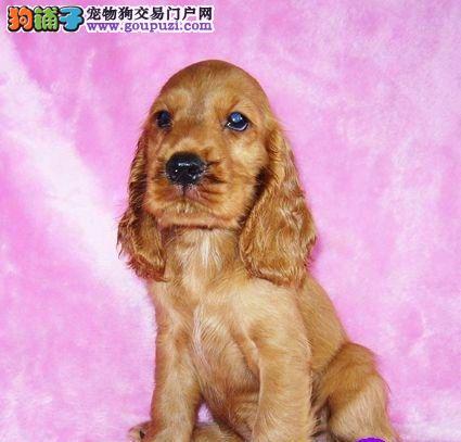 CKU认证犬舍 专业出售极品 可卡幼犬同城免费送货上门
