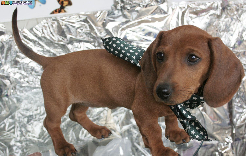 高品质标准小短腿、大耳朵、机灵可爱的腊肠幼犬