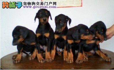 出售杜宾顶级护卫犬可随时上门挑选