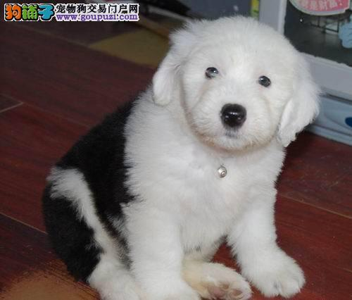 出售纯种古代牧羊犬白头通背双蓝眼特价签协议保健康
