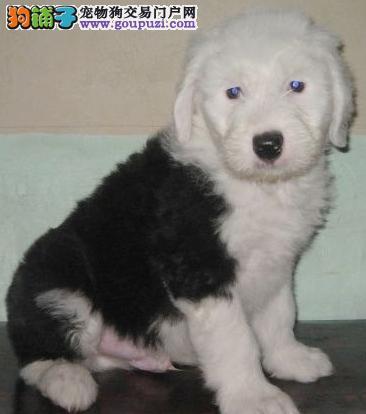 全白头古牧幼犬期待新主人带它回家、 可爱健康