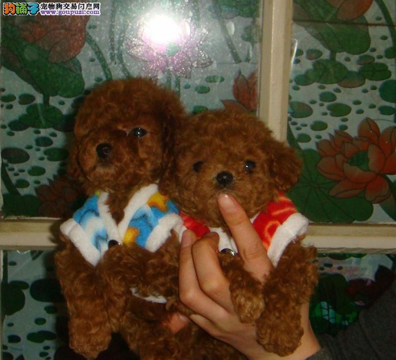 泰迪熊 宝宝/超可爱的小体玩具泰迪熊宝宝出售中[三个月公母全有]...