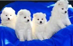 萨摩耶/冠赛犬业出售品质保障北极雾萨摩耶一窝[三个月公母全有]