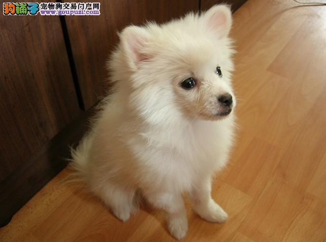 沧州最大的银狐犬基地 完美售后国际血统证书