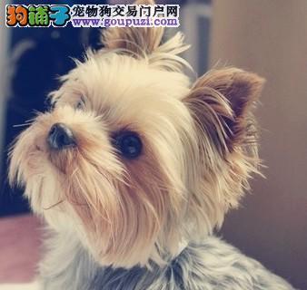 济宁出售约克夏幼犬品质好有保障签订终身纯种健康协议