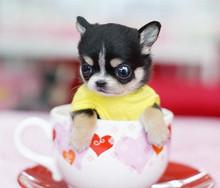 茶杯犬 纯种袖珍 迷你袖珍 CKU血统 育苗已做
