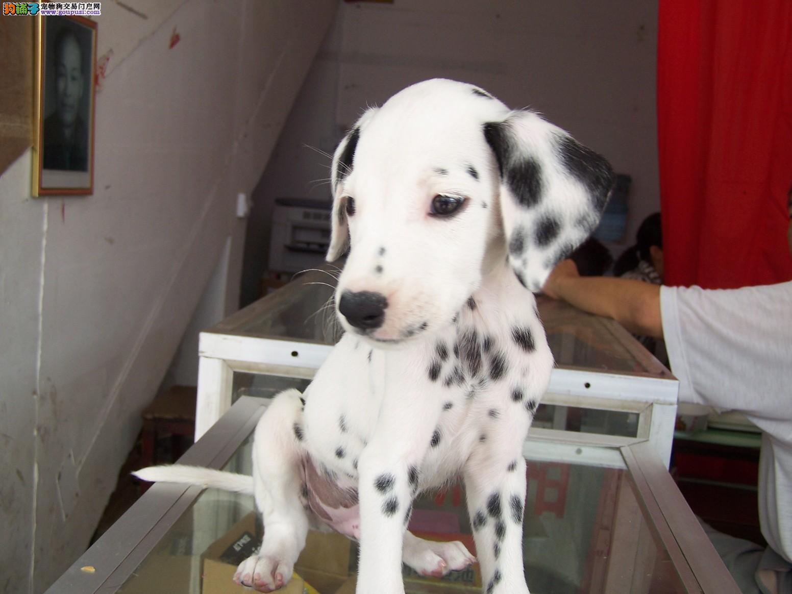 出售高品质健康可爱的斑点犬 包三个月健康 放心购买