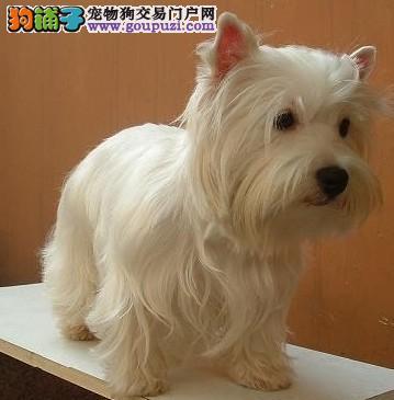 基地常年出售CKU协会认证的西高地幼犬