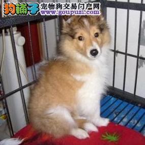 AC国际联保出售纯种苏牧幼犬 质保三年