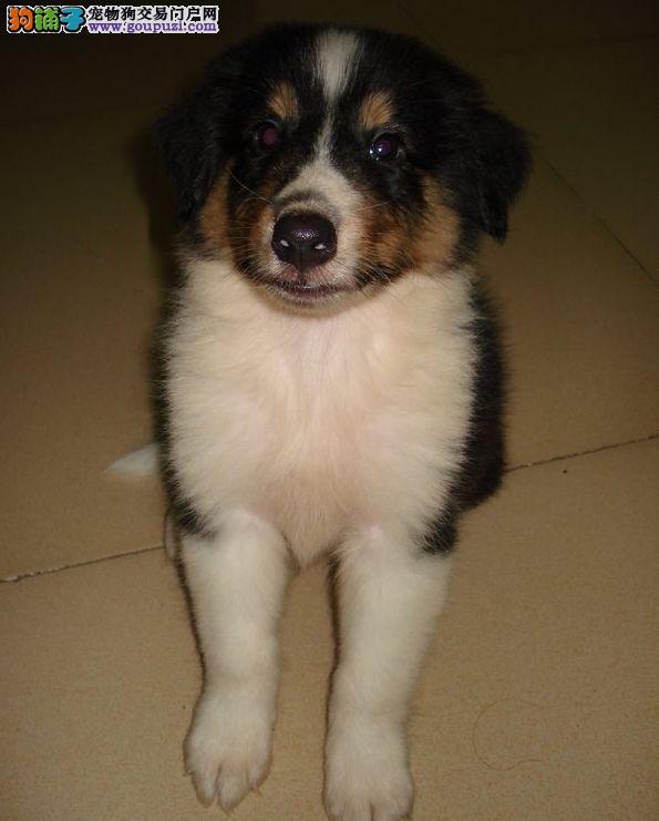 高品质苏牧幼犬 出售中 纯种健康质保