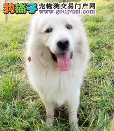 长沙出售稳重外形酷似藏獒的大白熊幼犬健康保证