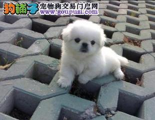 出售纯种家养京巴幼犬包健康售后疫苗已做