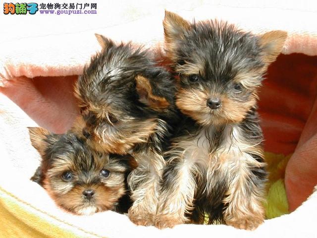 超小体型纯种约克夏幼犬;出售约克夏梗犬