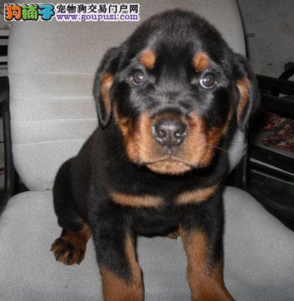 罗威纳猛犬基地出售 保证纯种健康
