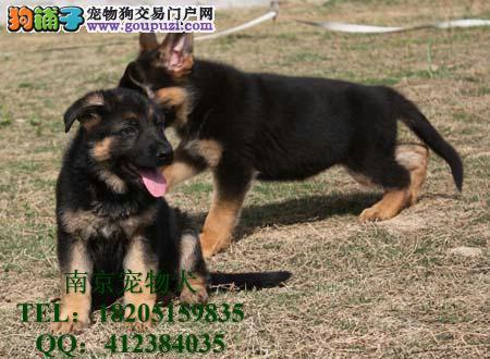 纯种德国黑背牧羊犬 最大德国牧羊犬黑背 德国黑背双击牧羊犬图片