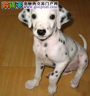 可爱斑点狗狗健康可以签合同