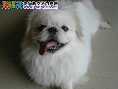 重庆哪里出售京巴犬 京巴犬价格多少